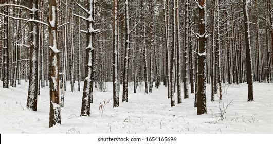winter pine forest slender trunks in the snow