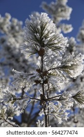 Winter Pine Tree Branch with Snow