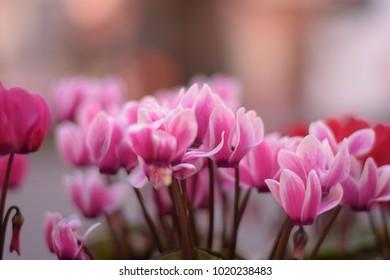 Winter pink Cyclamen flowers