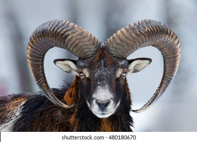 Winter portrait of big forest animal. Mouflon, Ovis orientalis, forest horned animal in nature habitat. Close-up portrait of mammal with big horns, Czech Republic.