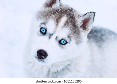 winter portrait of a cute blue-eyed husky puppy looking up, dog against a snowy nature background,