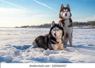 Winter portrait two Siberian husky dogs against the blue sky. Husky dogs sit on snow