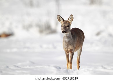 Winter portrait of a young roe deer in sunlight