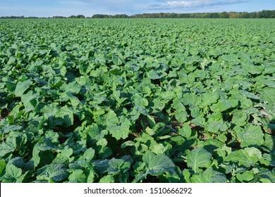 Winter rape grows in the autumn field
