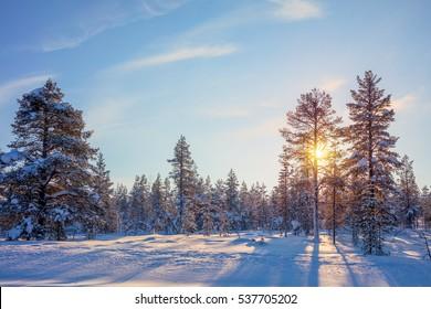 Winter Real  Golden Sundown - northern nature - snowy forest landscape.