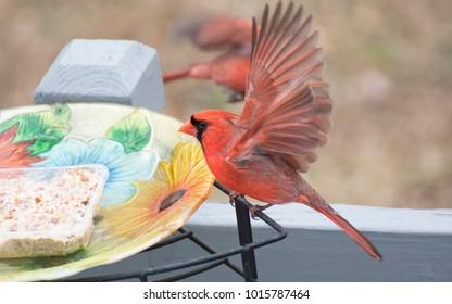 Winter Red Cardinal