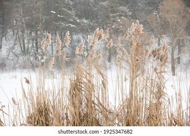 Winter reed on a river or lake