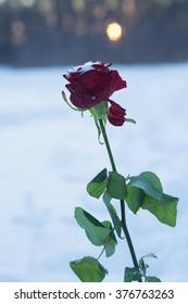 winter rose at sunset