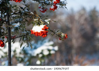 Winter rowan tree under snow close-up. Groups of bright red berries, mountain ash. branch of red rowan in winter in snow, isolated with place for text. red berries in early spring