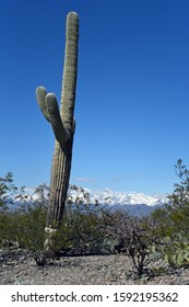 Winter in Saguaro National Park in Tucson with snowy Mountains in the background