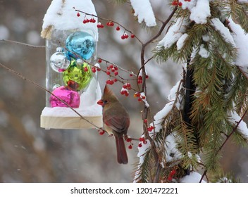 Winter scene of a beautiful female cardinal perched on a bittersweet twig,with a jar of glass Christmas balls hanging behind her.