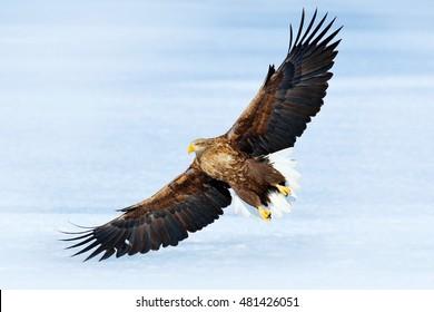 Winter scene with bird of prey White-tailed eagle, Haliaeetus albicilla, in flight above the ice, Japan. Action wildlife scene with big bird.