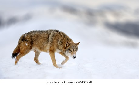 Winter scene with danger wolf animal. Gray wolf, Canis lupus, at white snow mountain. Wild dog in the nature.
