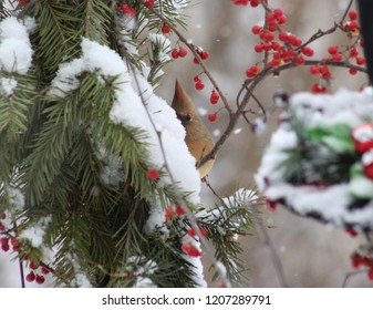 Winter scene of a female cardinal perched on a bittersweet branch hiding behind a snow covered pine bough