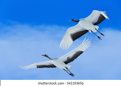 Winter scene from Japan. Two birds on the blue sky. Flying two Red-crowned cranes, Grus japonensis, with open wings, Hokkaido, Japan.