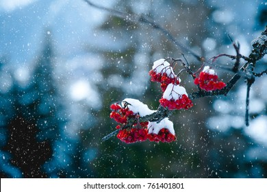 Winter scene of Red Rowan berries or Mountain Ash berries covered with snow. Close up.