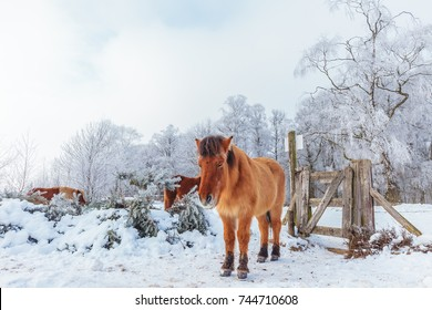 Winter scene with snow and brown Konik horses in Dutch national park Veluwezoom at the Posbank