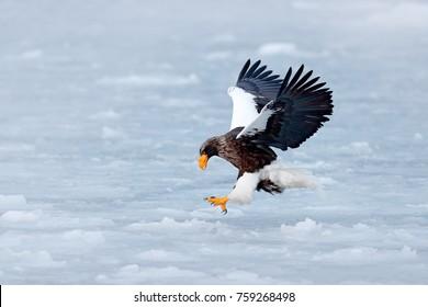 Winter scene with snow and eagle. Flying rare eagle. Steller's sea eagle, Haliaeetus pelagicus, landing on the ice, Sakhalin, Russia.