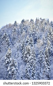 A winter scene, snowy hills covered with pine trees