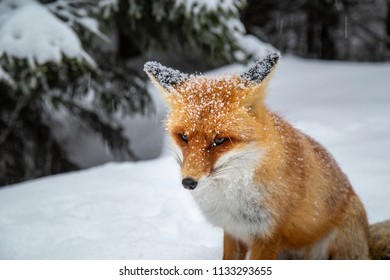 Winter scenery in the Alps, with wild red fox