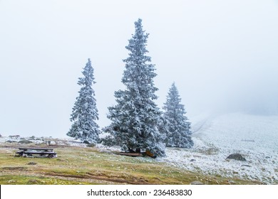 A winter scenery with pine trees covered by snow