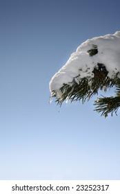 Winter Series 8 - Melting snow in a fir branch
