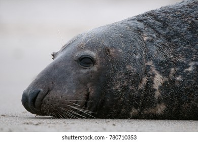 winter shooting of grey seals and harbor seals on the Dune island, Germany