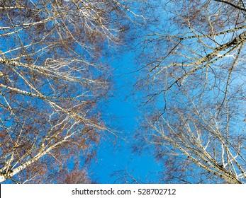 Winter sky in birch forest