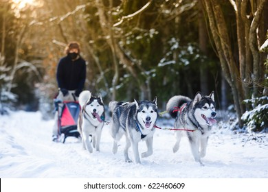 Winter Sled dog racing musher and husky