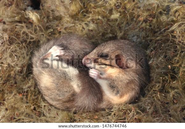 冬眠 ヤマネ やばっ!寝過ごした。うっかり1年近く冬眠してしまう動物、ヤマネさん(オーストリア研究) :