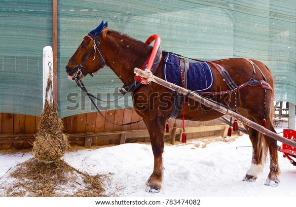 Winter sleigh rides pulled by horses in the falling snow. Horse-drawn sleigh. Harnessed to the sled equine. Fun horse riding through in the cart.