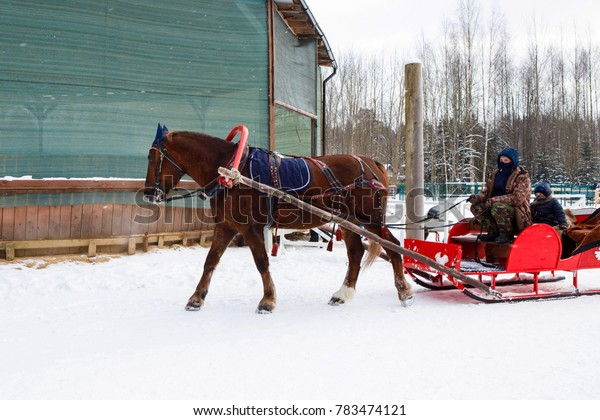 Winter sleigh rides pulled by horses in the snow. Horse-drawn sleigh. Harnessed to the sled equine. Fun horse riding through in the cart.