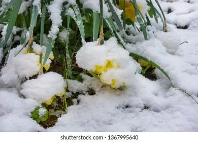 Winter Slump, Snow on daffodils in Spring