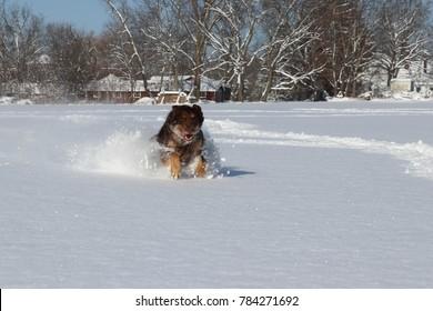 Winter Snow Dog