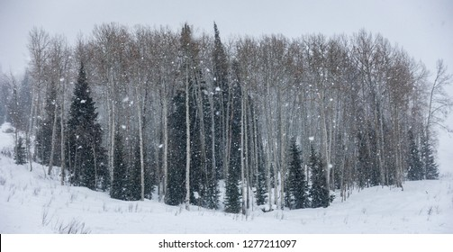 Winter snow falls on a forest of mixed Pine and Aspen trees on the ski slopes of the Steamboat Springs ski resort, in the Rocky Mountains of Colorado.