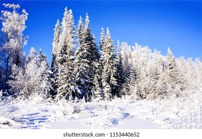 Winter snow forest landscape. Snowy fir trees in winter snow forest scene. Winter snow forest panorama