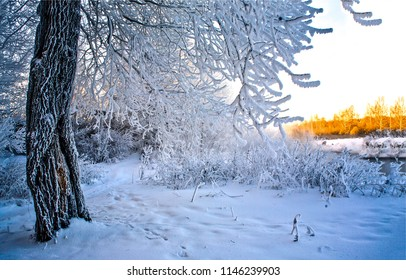 Winter snow forest scene landscape. Snowy tree branches in winter snow forest scene. Winter snow forest tree branch view