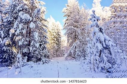 Winter snow forest trees background. Winter snow forrest. Snowy winter forest view. Winter snow forrest scene