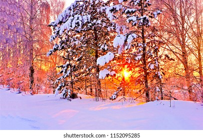 Winter snow forest trees sunset background. Red sunset in winter snow forest trees scene. Winter sunset snow forest trees view