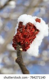 Winter Snow Sumac