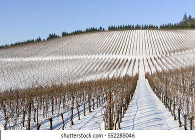 Winter Snow In the Vineyards of Western Oregon