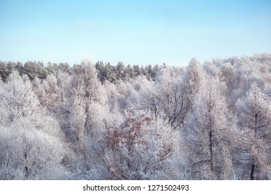 winter snowy forest and blue sky
