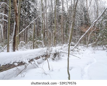 Winter snowy forest in light fog. Temperature - minus 2 degrees Celsius. Wild nature of Eastern Europe