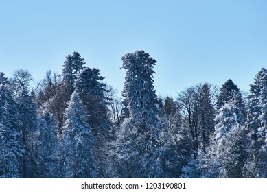Winter snowy forest on a background of clean blue sky. Lago-Naki, The Main Caucasian Ridge, Russia