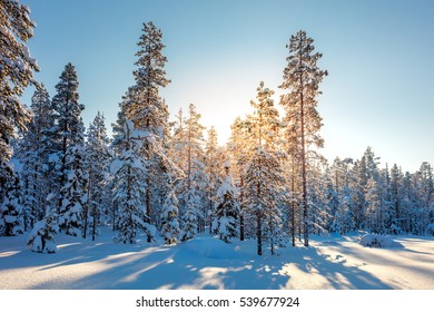 Winter Snowy Forest and Sunlight - northern nature - beautiful winter weather