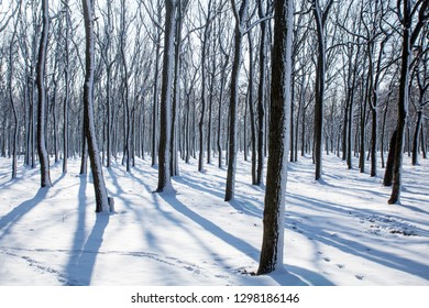 winter snowy oak forest with trails. trees with green and brown trunks