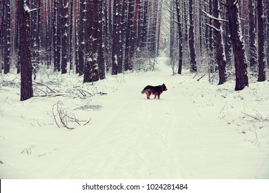 Winter snowy pine forest, dog walking in the forest