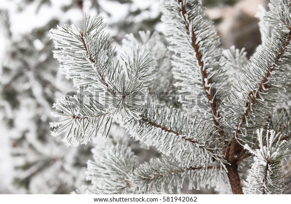Winter snowy pine tree christmas scene. Fir branches covered with frost wonderland. Calm blurred snow flakes winter time background with copy space area. Snow covered branches in december