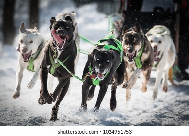 Winter Sports - Dog Sled Race