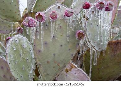 Winter storm in Austin Texas. Cacti in ice. Freezing rain. Winter scene. Natural disaster
